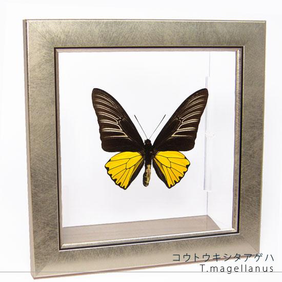 蝶の標本 コウトウキシタアゲハ メタリック調ライトフレーム