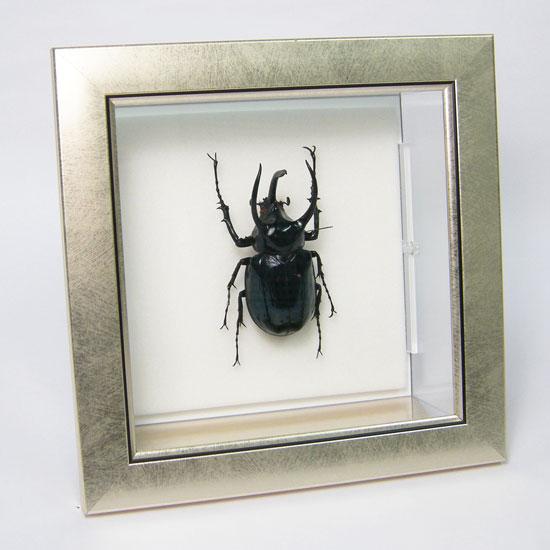 虫の標本 アトラスカブト メタリック調ライトフレーム
