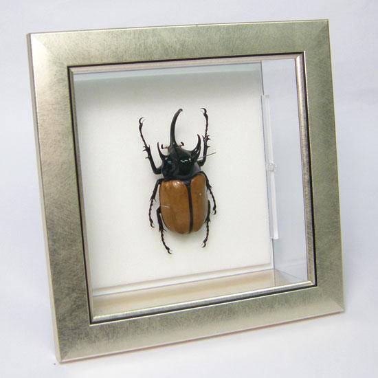 虫の標本 ゴホンツノカブト メタリック調ライトフレーム