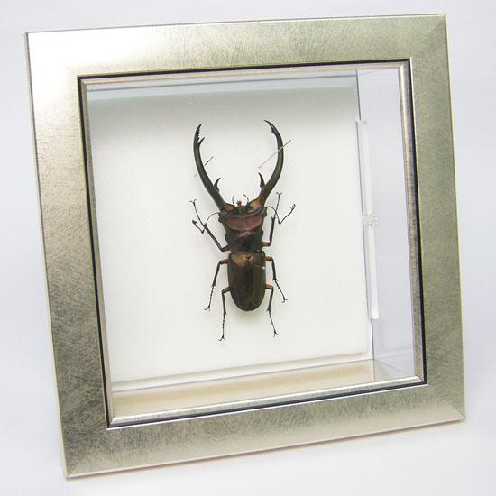 虫の標本 エラフスホソアカクワガタ メタリック調ライトフレーム