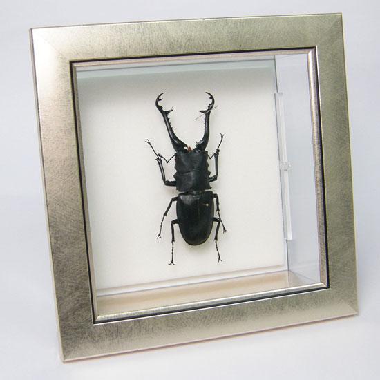 虫の標本 ギラファノコギリクワガタ メタリック調ライトフレーム