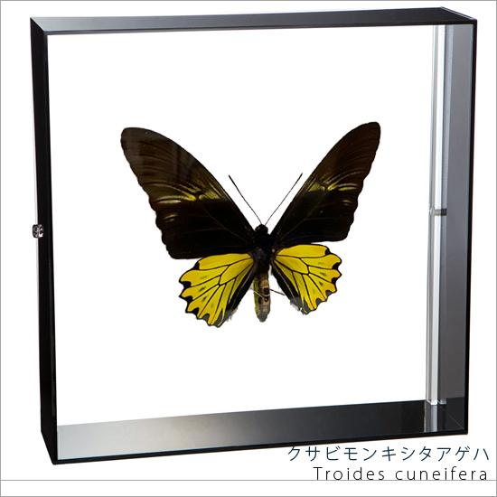 蝶の標本 クサビモンキシタアゲハ アクリルフレーム 黒