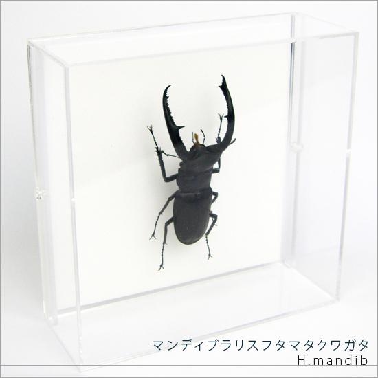 虫の標本 マンディブラリスフタマタクワガタ アクリルフレーム 透明