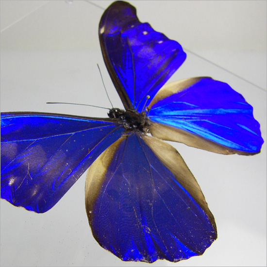 Specimen レテノールモルフォ M.rhetenor of the butterfly