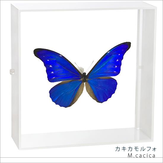 蝶の標本 カキカモルフォ アクリルフレーム 白