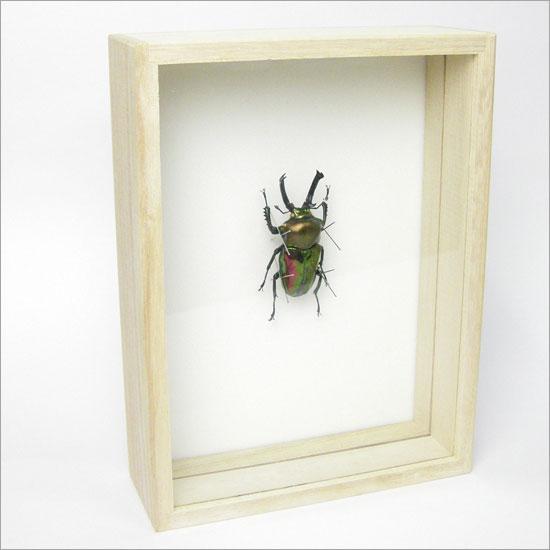 虫の標本 ニジイロクワガタ 桐箱