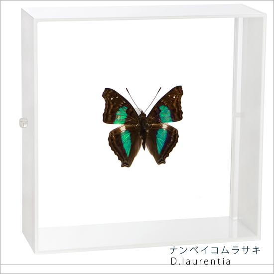 蝶の標本 ナンベイコムラサキ アクリルフレーム 白