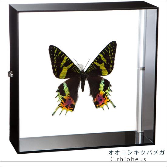 蝶の標本 オオニシキツバメガ アクリルフレーム 黒