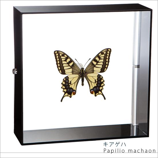 蝶の標本 キアゲハ アクリルフレーム 黒