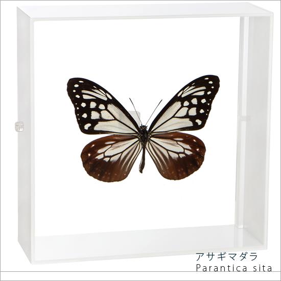 蝶の標本 アサギマダラ アクリルフレーム 白