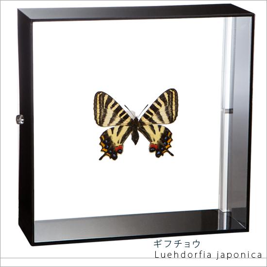 蝶の標本 ギフチョウ 岐阜チョウ アクリルフレーム 黒