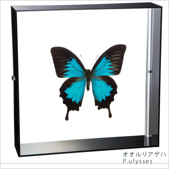 蝶の標本 オオルリアゲハ アクリルフレーム 黒