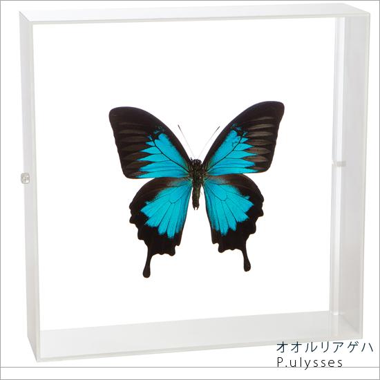 蝶の標本 オオルリアゲハ アクリルフレーム 白