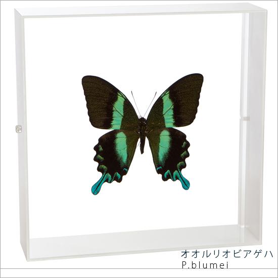 蝶の標本 オオルリオビアゲハ アクリルフレーム 白