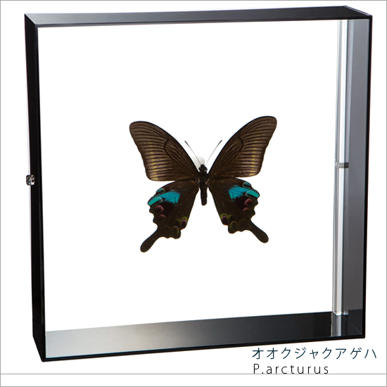 蝶の標本 オオクジャクアゲハ アクリルフレーム 黒