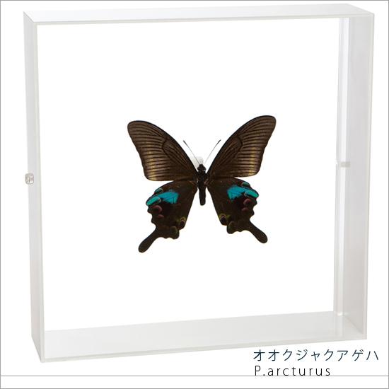 蝶の標本 オオクジャクアゲハ アクリルフレーム 白