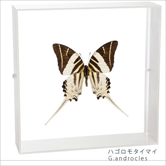 蝶の標本 ハゴロモタイマイ アゲハチョウ アクリルフレーム 白 インテリア 自然 ネイチャー オブジェ