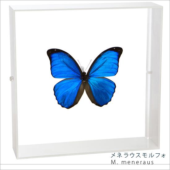 蝶の標本 メネラウスモルフォ アクリルフレーム 白