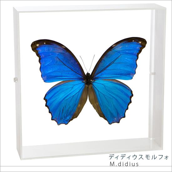 蝶の標本 ディディウスモルフォ アクリルフレーム 白