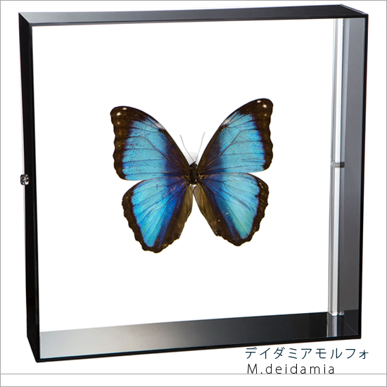 蝶の標本 デイダミアモルフォ アクリルフレーム 黒
