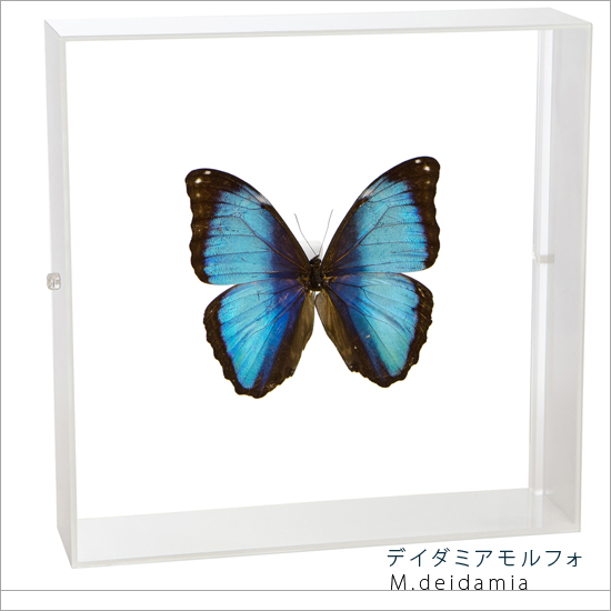蝶の標本 デイダミアモルフォ アクリルフレーム 白