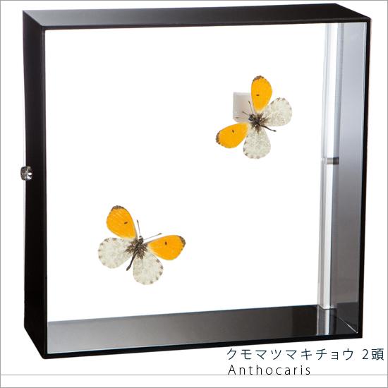 蝶の標本 クモマツマキチョウ 2頭 シロチョウ アクリルフレーム 黒 インテリア 自然 ネイチャー オブジェ