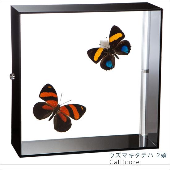 蝶の標本 ウズマキタテハ 2頭 アクリルフレーム 黒
