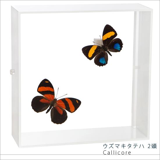 蝶の標本 ウズマキタテハ 2頭 タテハチョウ アクリルフレーム 白 インテリア 自然 ネイチャー オブジェ