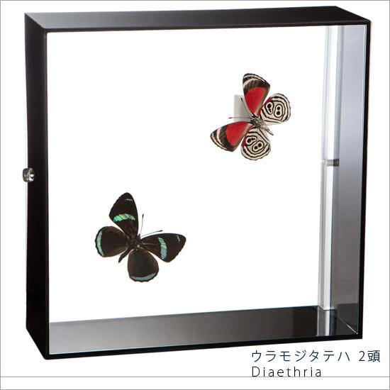蝶の標本 ウラモジタテハ 2頭 アクリルフレーム 黒