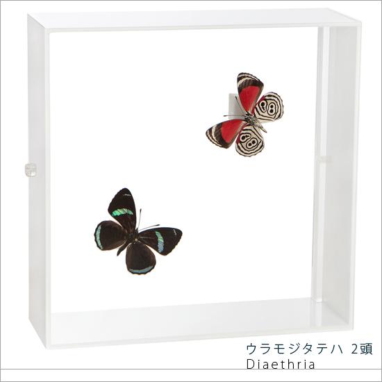 蝶の標本 ウラモジタテハ 2頭 アクリルフレーム 白