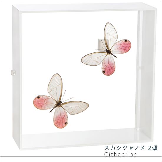 蝶の標本 スカシジャノメ 2頭 タテハチョウ アクリルフレーム 白 インテリア 自然 ネイチャー オブジェ