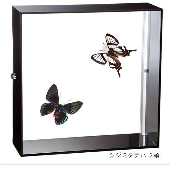 蝶の標本 シジミタテハ 2頭 アクリルフレーム 黒