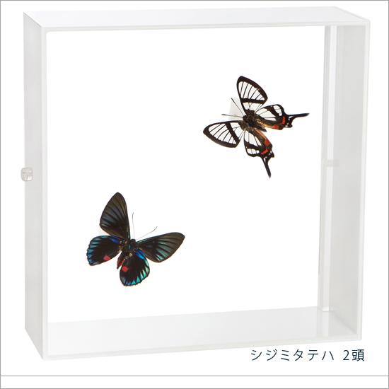 蝶の標本 シジミタテハ 2頭 アクリルフレーム 白
