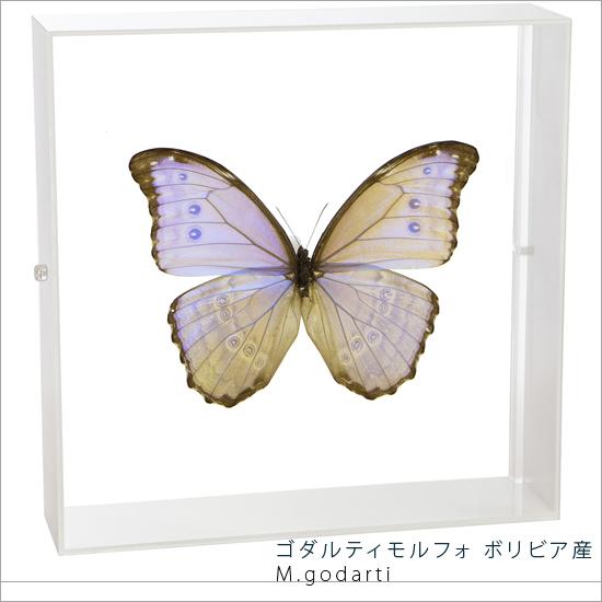 蝶の標本 ゴダルティモルフォ ボリビア産 アクリルフレーム 白