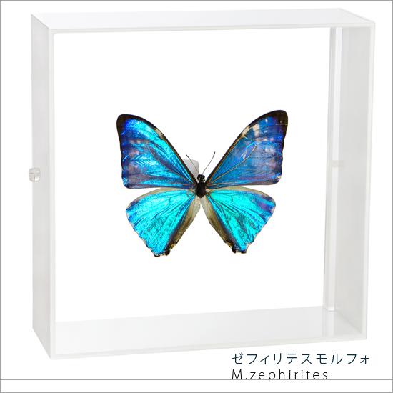 蝶の標本 ゼフィリテスモルフォ モルフォチョウ アクリルフレーム 白 インテリア 自然 ネイチャー オブジェ