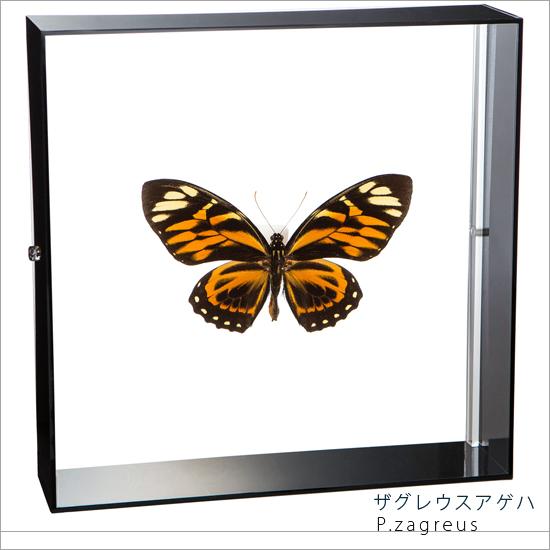 蝶の標本 ザグレウスアゲハ アクリルフレーム 黒
