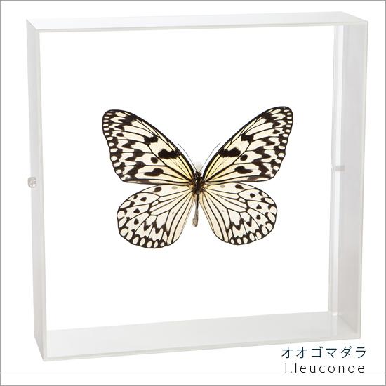蝶の標本 オオゴマダラ アクリルフレーム 白