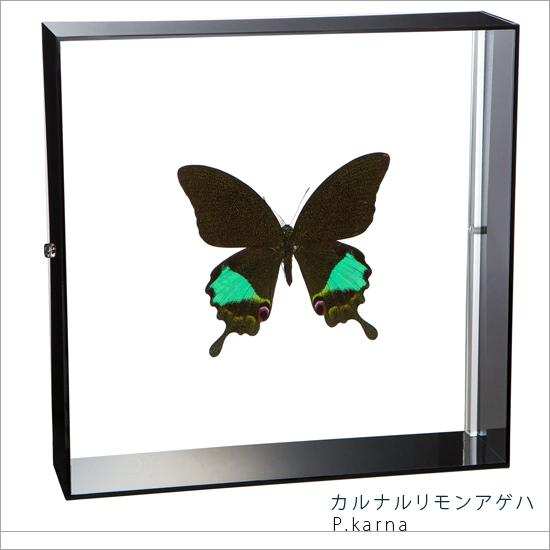 蝶の標本 カルナルリモンアゲハ アクリルフレーム 黒