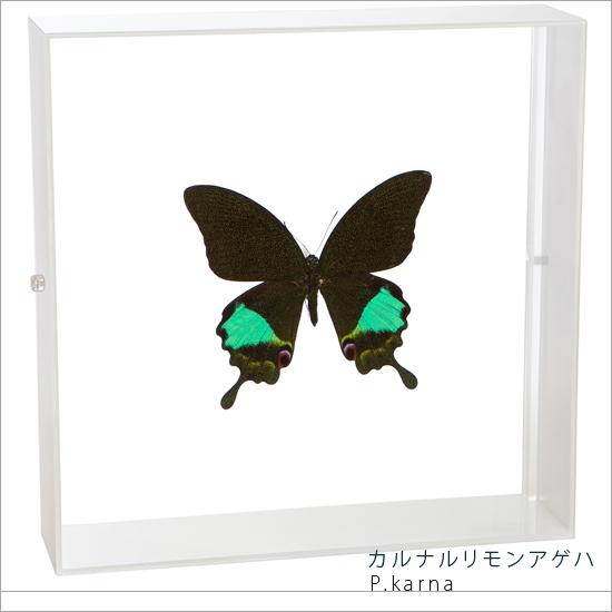 蝶の標本 カルナルリモンアゲハ アクリルフレーム 白