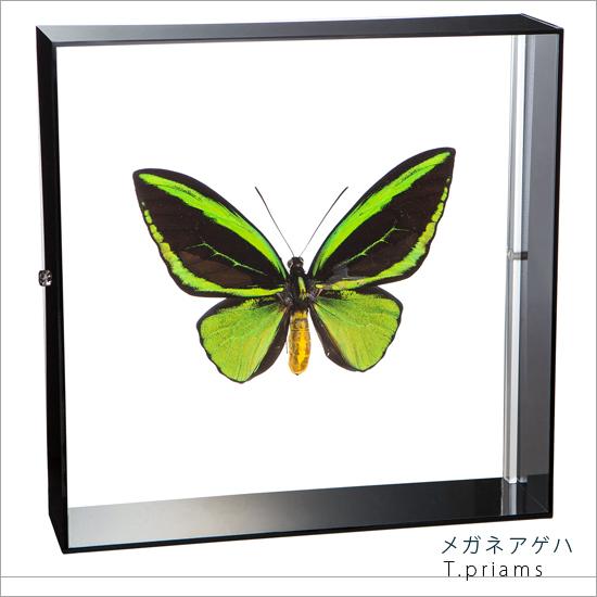 蝶の標本 メガネアゲハ トリバネアゲハ アゲハチョウ アクリルフレーム 黒 インテリア 自然 ネイチャー オブジェ