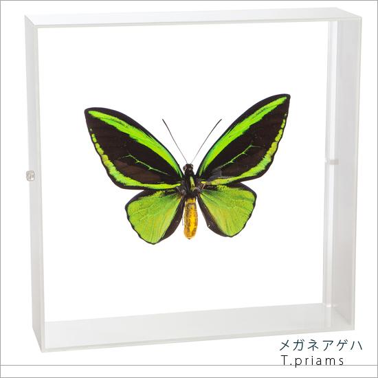 蝶の標本 メガネアゲハ アクリルフレーム 白