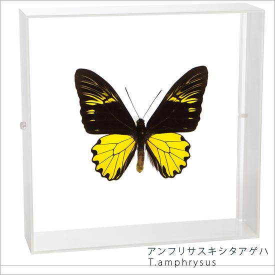 蝶の標本 アンフリサスキシタアゲハ アクリルフレーム 白