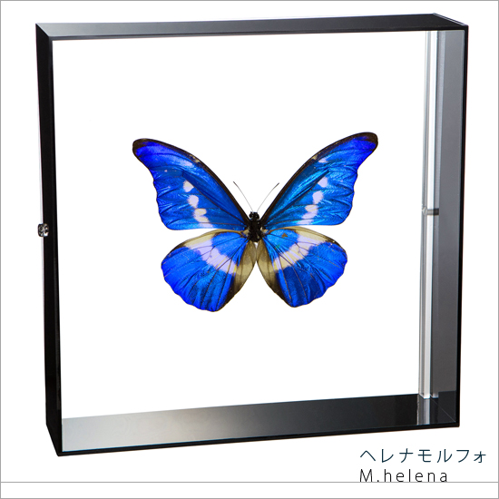 蝶の標本 ヘレナモルフォ アクリルフレーム 黒