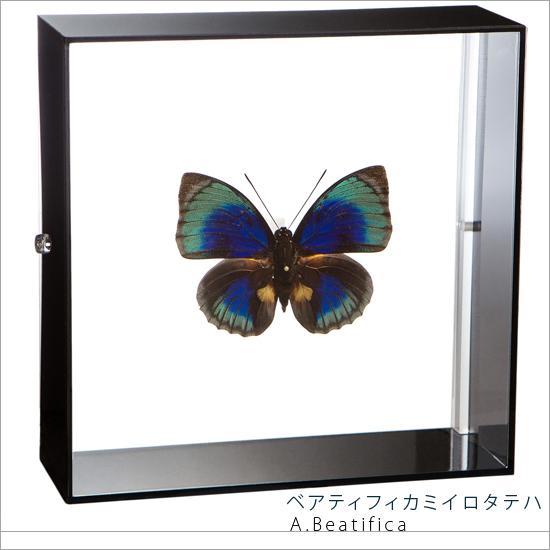 蝶の標本 ベアティフィカミイロタテハ アクリルフレーム 黒