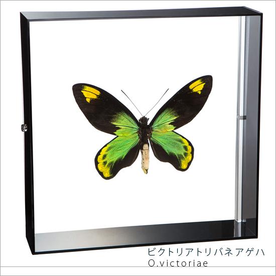 蝶の標本 ビクトリアトリバネアゲハ アクリルフレーム 黒