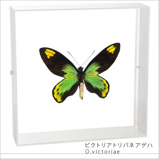 蝶の標本 ビクトリアトリバネアゲハ アクリルフレーム 白