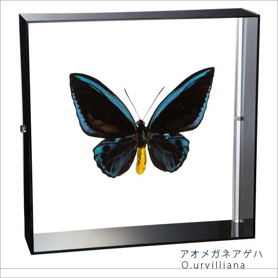 蝶の標本 アオメガネアゲハ アクリルフレーム 黒