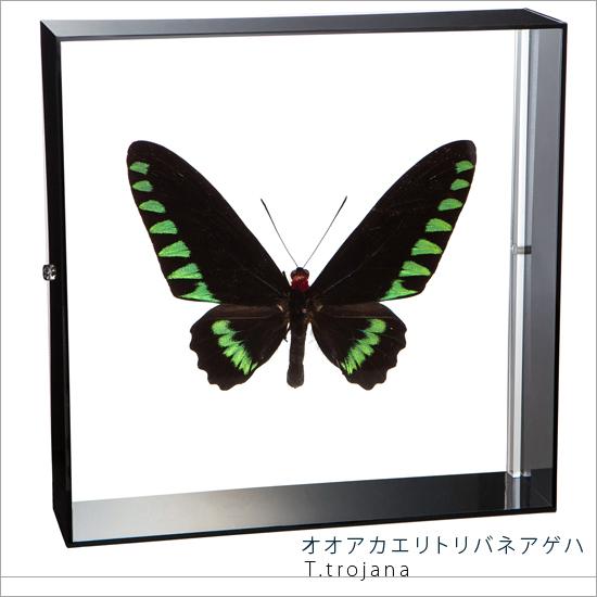 蝶の標本 オオアカエリトリバネアゲハ アクリルフレーム 黒
