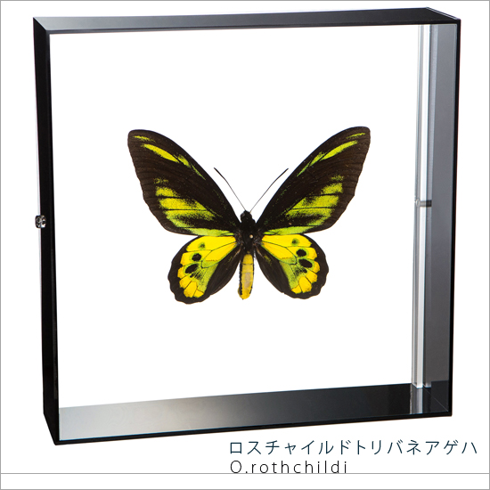蝶の標本 ロスチャイルドトリバネアゲハ アクリルフレーム 黒