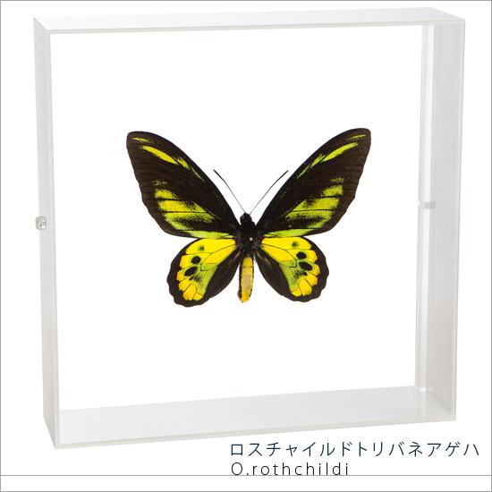 蝶の標本 ロスチャイルドトリバネアゲハ アクリルフレーム 白